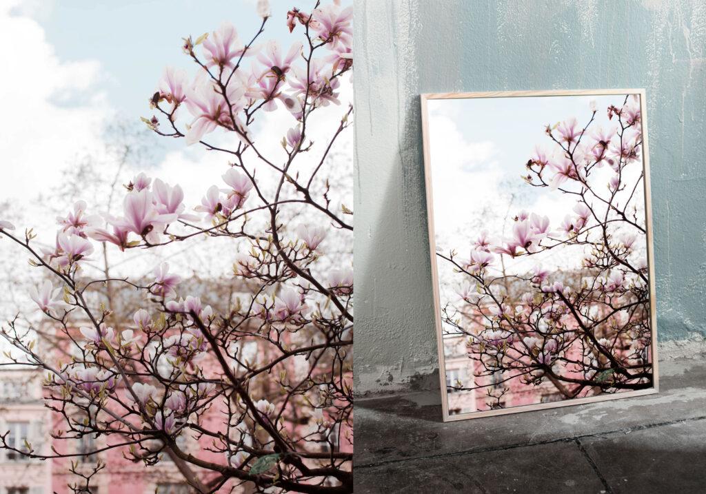 Pink magnolias in the springtime Paris photo print. Ulrika Ekblom Photography.
